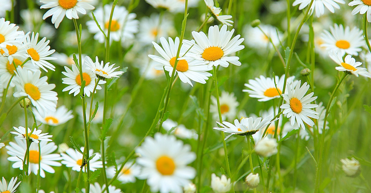 Did you know blog ebg what does a flower daisy mean daisy wallpapers 9 izmirmasajfo